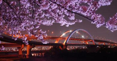五色桜大橋と夜桜[東京都 / ]